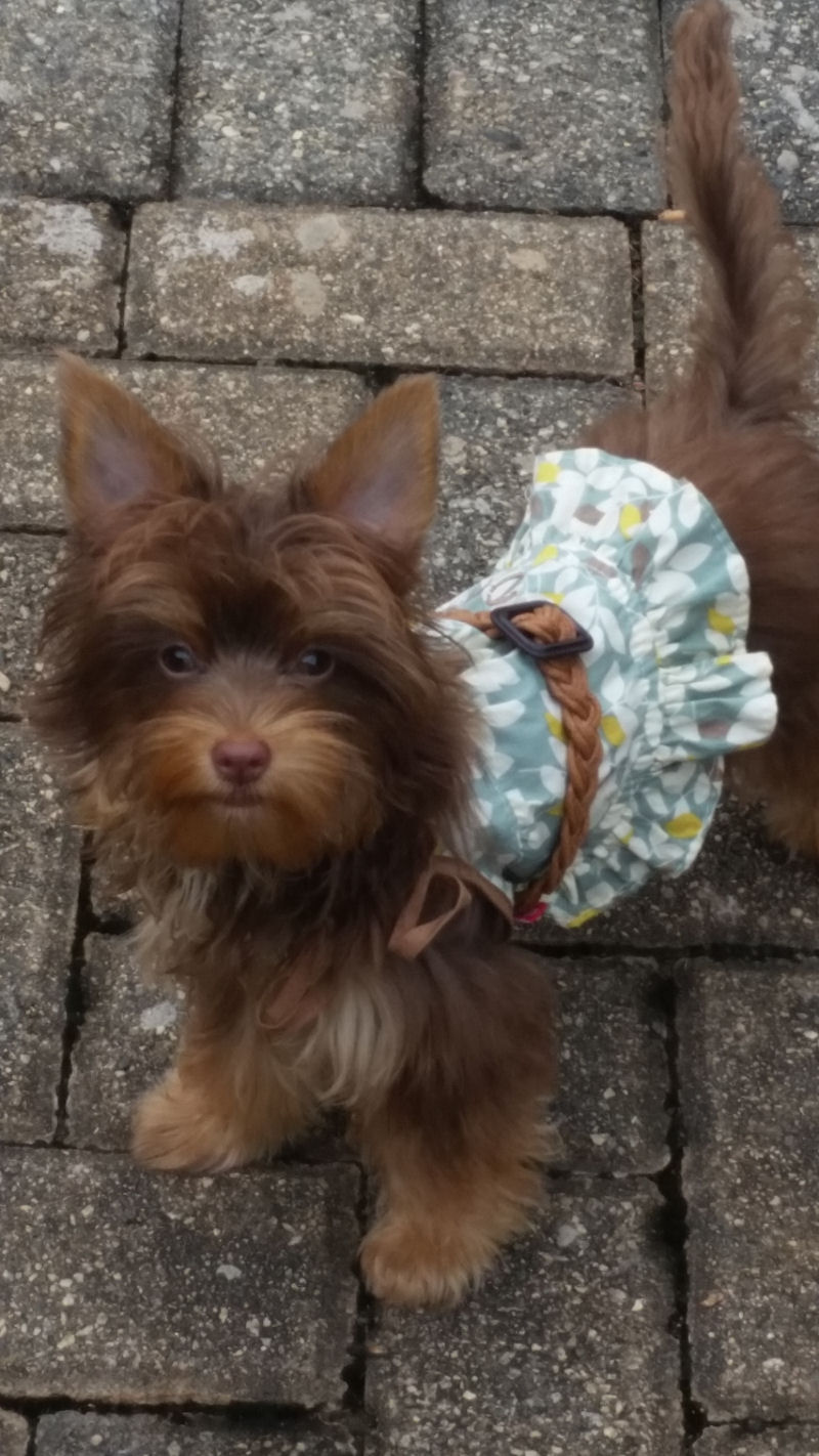 Chocolate Yorkie Picture Page