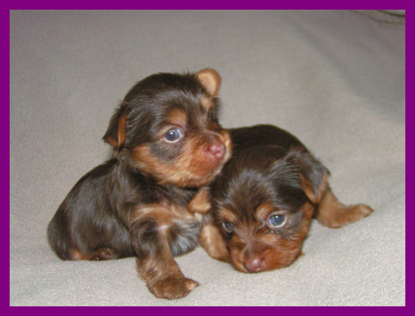 The Chocolate Yorkshire Terrier
