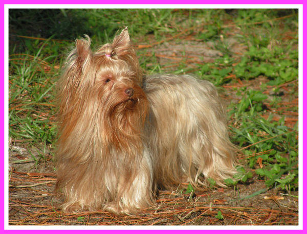 The Chocolate Yorkieshire Terrier Is A Uniquely Colored Yorkie With Self Pigment Coat Colors Can Vary In Shades From Very Light To Dark